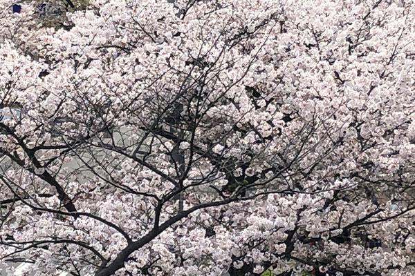 結婚相談所 東京 渋谷 20代 30代 ブログ 桜4